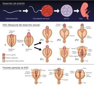 Información gráfica sobre los genitales intersexuales. Foto: L'ARMARI OBERT